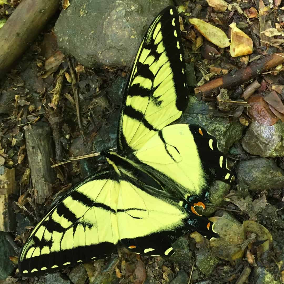 swallowtail butterfly rv wildlife viewing