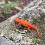 eastern newt rv wildlife viewing and identification