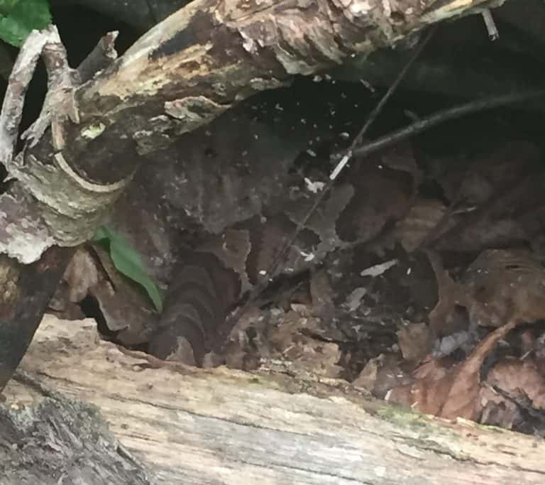 copperhead snake in cowans gap state park