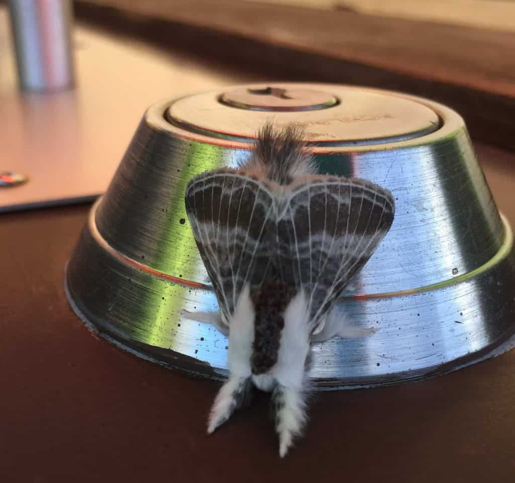blue knob state park moth