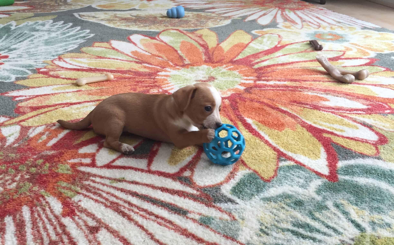 Hazel Beagle Jack Russell Terrier Mix