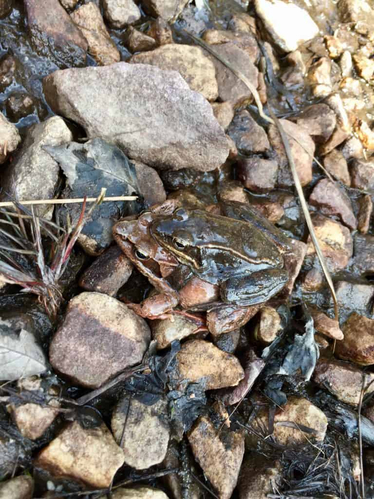 mating frogs wv