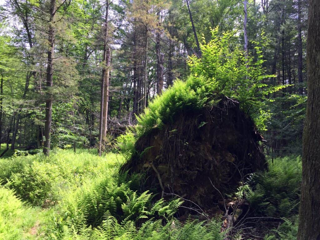downed and uprooted tree