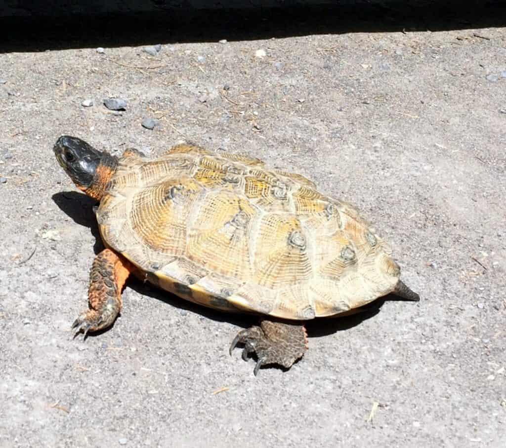 wood turtle poe paddy