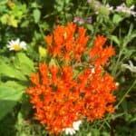 shawnee state park wildflower