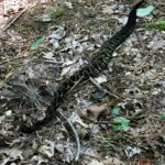 timber rattlesnake 1