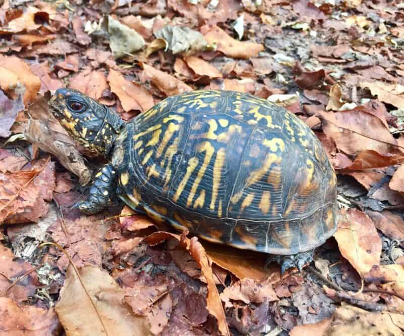 west virginia box turtle