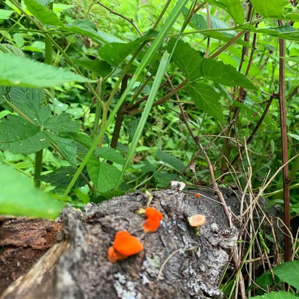 chapman state park mushroom 6