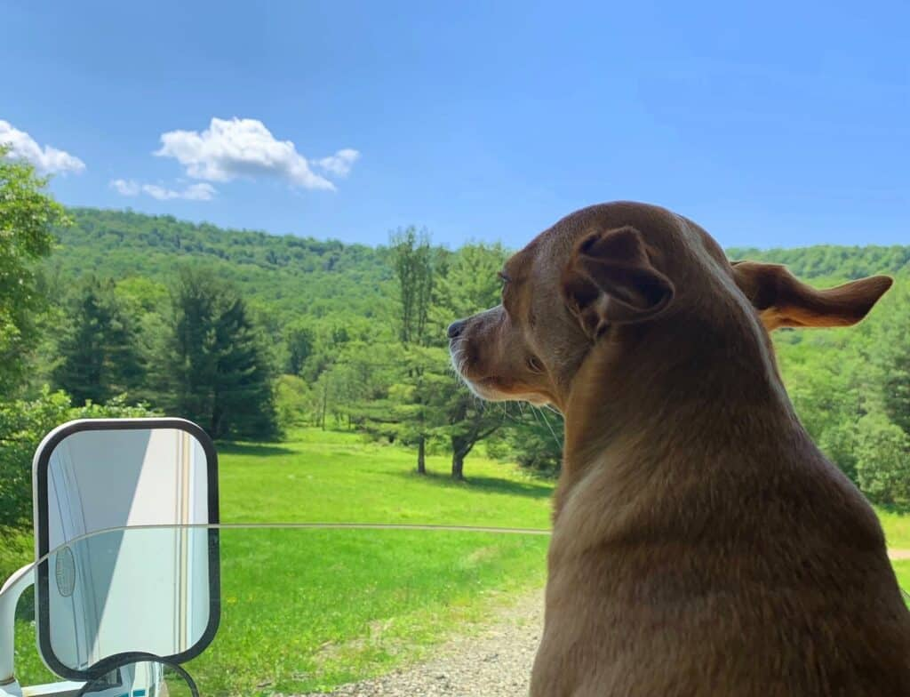 hazel with ears flapping on the road