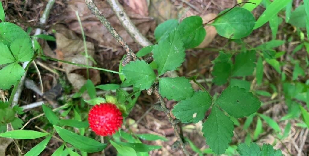 codorus state park berries 3