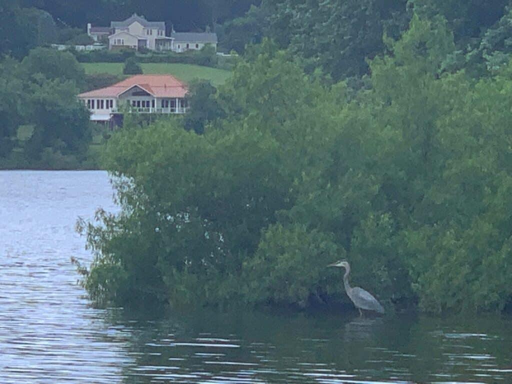 blue heron at codorus state park
