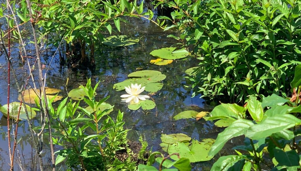 presque isle state park lily pad